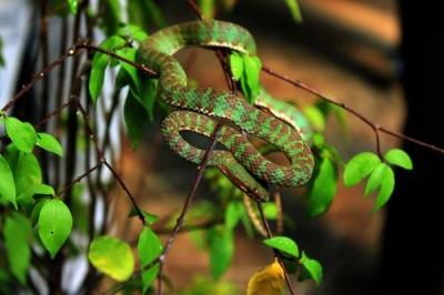 งูเขียวหางไหม้ภูเก็ต