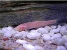 ปลาค้อถ้ำพระวังแดง