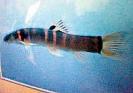 ปลาค้อไทยประจัน