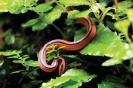 งูทางมะพร้าวแดงภูหลวง