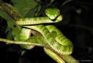 งูเขียวหางไหม้ท้องเขียวใต้
